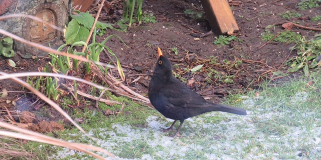 male blackbird looking up