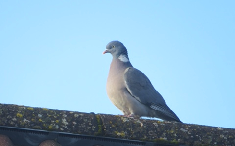 Pigeon standing on a roof, with blue sky as a background