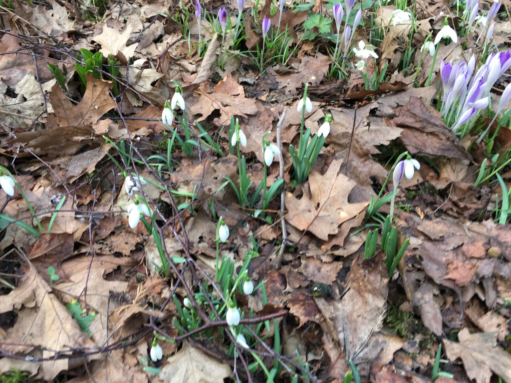 A picture of snowdrops beside leaves