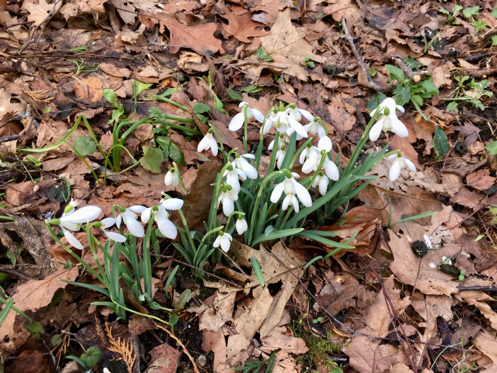 Picture of more snowdrops beside leaves