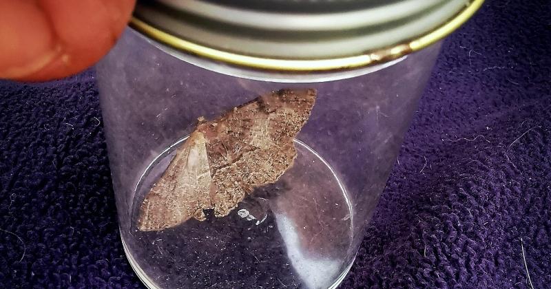Speckled brown moth in a specimine jar