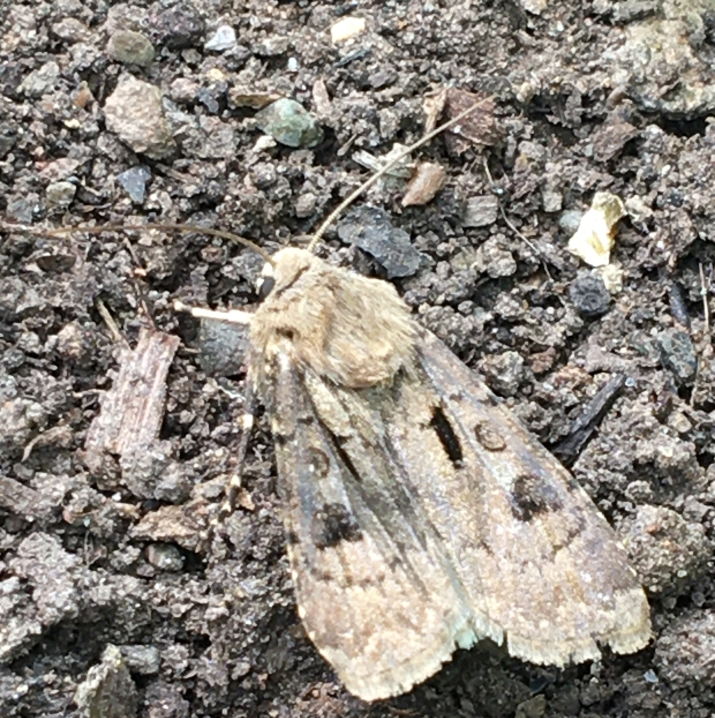 photo of a Heart and Dart Moth