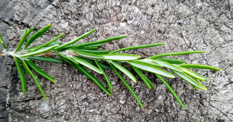 Photo of a sprig of rosemary