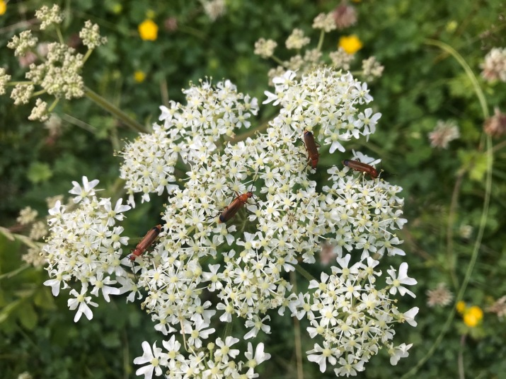 Common Red Soldier Beetle on Hogweed flowers